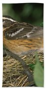 Black-headed Grosbeak Female Beach Towel