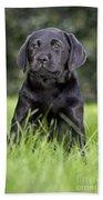 Black Labrador Puppy Beach Towel