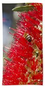 Callistemon Citrinus - Crimson Bottlebrush Beach Towel