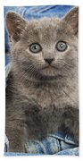 Chartreux Kitten Beach Towel