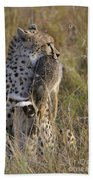 Cheetah Carrying Its Prey Beach Towel