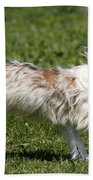 Chinese Crested Dog Beach Towel