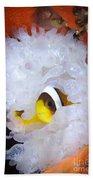 Clarks Anemonefish In White Anemone Beach Towel