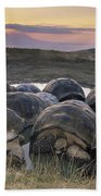 Galapagos Giant Tortoise Wallowing Beach Towel