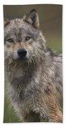 Gray Wolf  North America Beach Towel