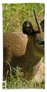 Klipspringer Antelope Beach Towel