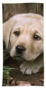 Labrador Puppy Beach Towel