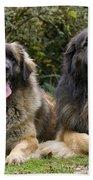 Leonberger Dogs Beach Towel