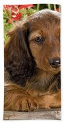 Long-haired Dachshund Beach Towel