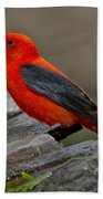 Male Scarlet Tanager Beach Towel