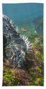 Marine Iguana Feeding On Algae Punta Beach Towel