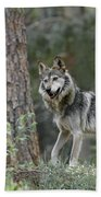 Mexican Grey Wolf 1 Beach Towel