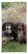 Miniature Long-haired Dachshunds Beach Towel