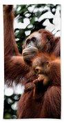 Mother And Baby Orangutan Borneo Beach Towel