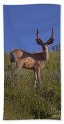 Mule Deer Buck In Velvet   #2231 Beach Towel