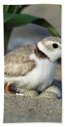 Piping Plover Charadrius Melodus Beach Towel