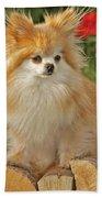 Pomeranian Dog Beach Towel