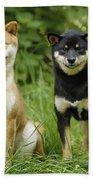 Shiba Inu Dogs Beach Towel