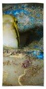 Short-head Sabretooth Blenny Peering Beach Sheet