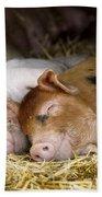 Sleeping Hogs  Beach Towel
