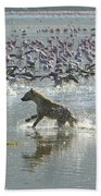 Spotted Hyaena Hunting For Food Beach Towel