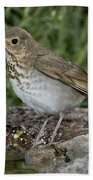 Swainsons Thrush Beach Towel