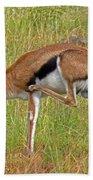 Thomson's Gazelle Beach Sheet