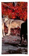 Timber Wolves Under  A Red Maple Tree Beach Towel
