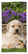 Yellow Labrador Puppies Beach Towel