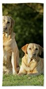 Yellow Labrador Retrievers Beach Towel