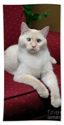 Flame Point Siamese Cat Beach Towel