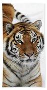 Tigre De Siberie Panthera Tigris Altaica Beach Towel