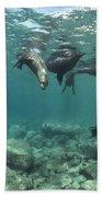 Playful Sealions In Baja Beach Towel