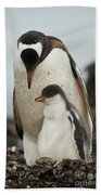 Gentoo Penguin With Young Beach Towel