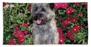 1990s Cairn Terrier Dog Standing Beach Sheet
