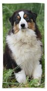 Australian Shepherd Dog Beach Towel