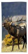 Autumn Bull Elk Bugling Beach Towel