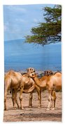 Group Of Camels In Africa Beach Towel