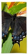 Tiger Swallowtail Butterfly, Dark Phase Beach Towel