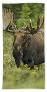 Bull Moose In Velvet  Beach Towel
