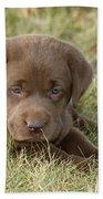 Chocolate Labrador Puppy Beach Sheet