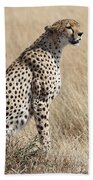 Cheetah Searching For Prey Beach Towel