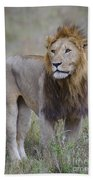 Male Lion Beach Towel