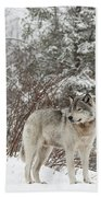 Timber Wolf In Winter Beach Sheet