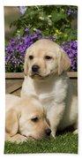 Yellow Labrador Puppies Beach Towel