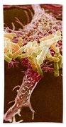Macrophage Ingesting Pseudomonas Beach Towel