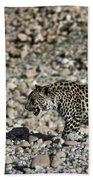 Arabian Leopard Panthera Pardus Beach Towel
