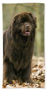 Newfoundland Dog Beach Towel