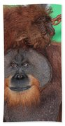 Portrait Of A Large Male Orangutan Beach Towel