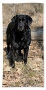 Black Labrador Retriever Beach Towel by Linda Freshwaters Arndt